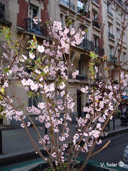 cerisier sakura