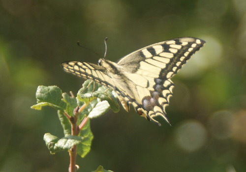 le Machaon.Beaulieu.17.08.2019