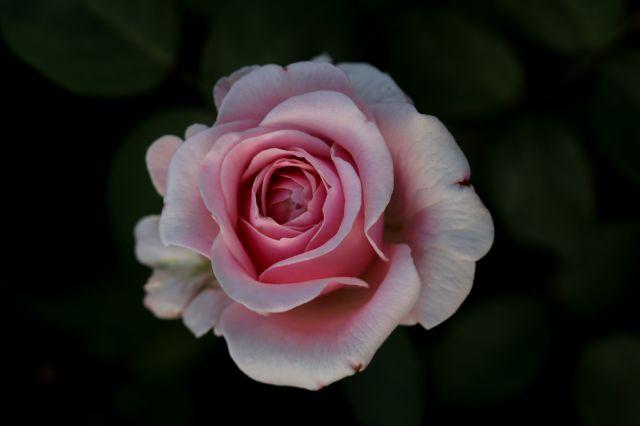 Les Roses de Warren : Igraine