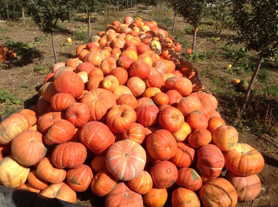 Nos petits cueilleurs de pommes sont à l'oeuvre.