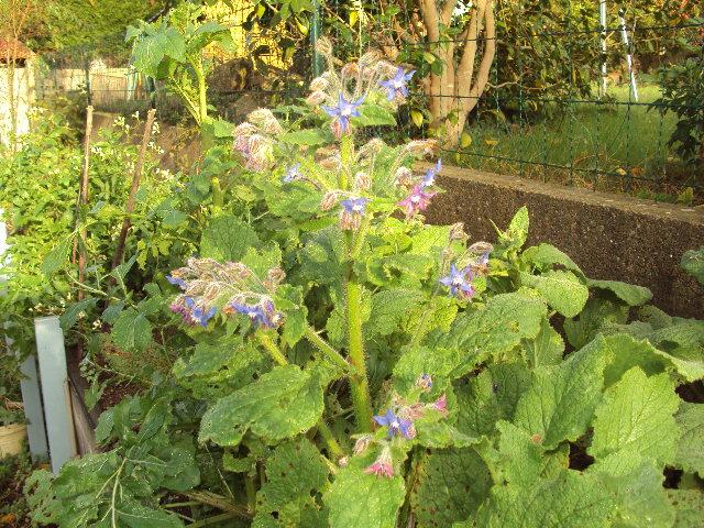 bourrache en fleur le 30 novembre 2011