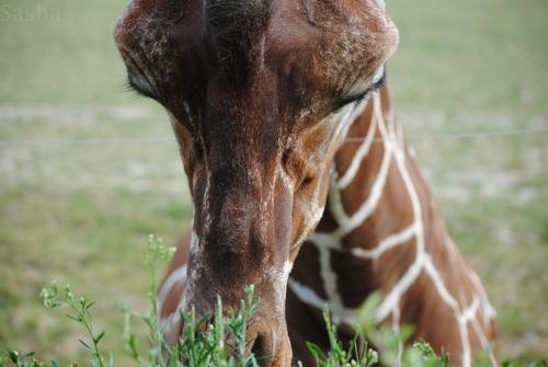 4 - Girafe.