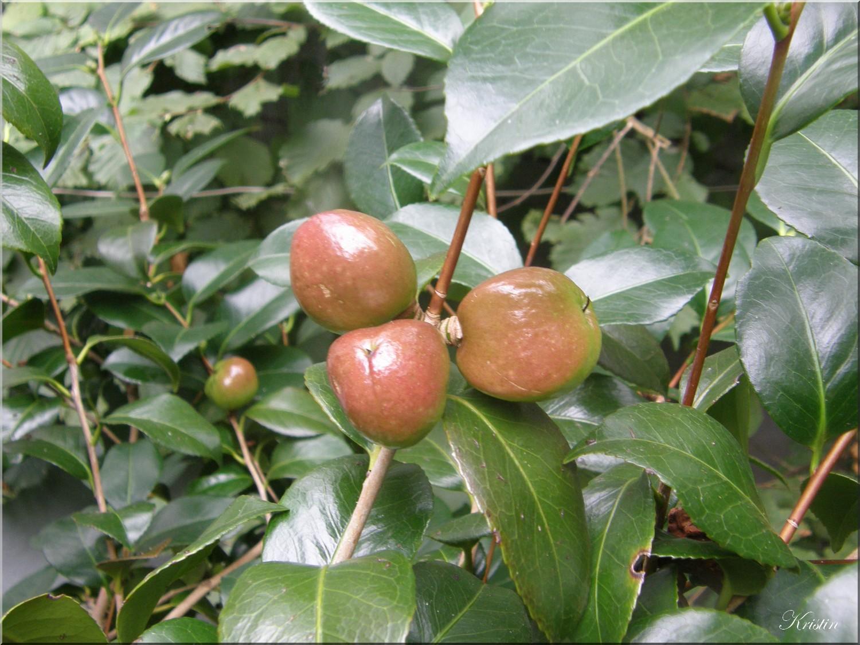 fruits camelias