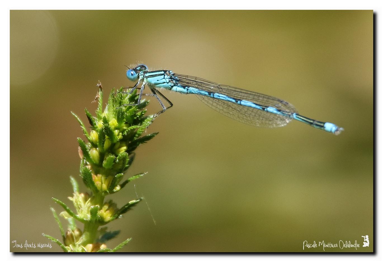 Erythromma lindenii - Naïade aux yeux bleus ou Agrion de Vander Linden ou Agrion à longs cercoïdes