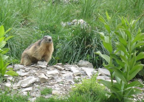 Marmotte près de la cabane de Basset