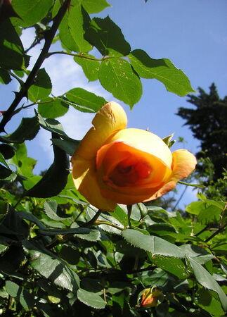 roses_arums_soucis_passiflores_001