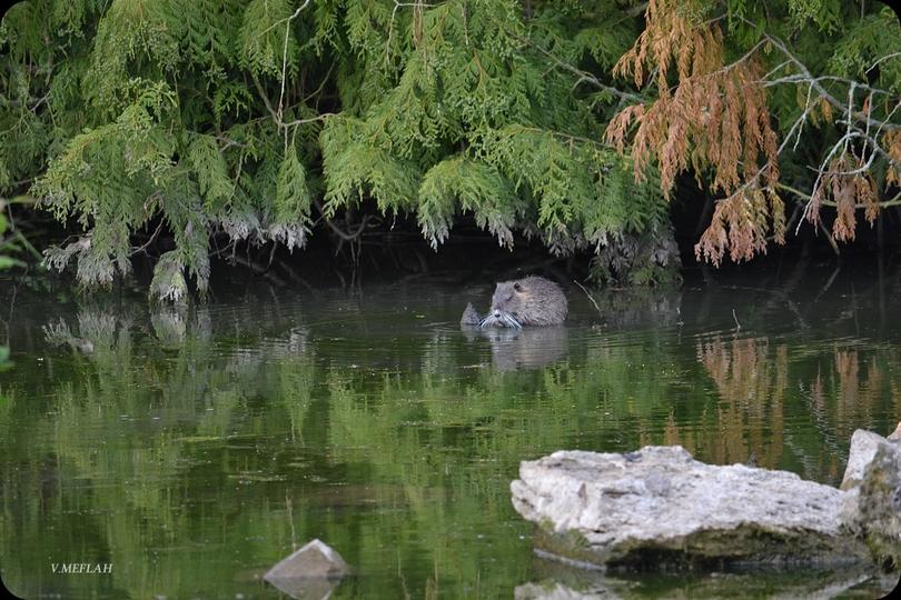 Suite de ma promenade champêtre à Rambouillet : Les Ragondins