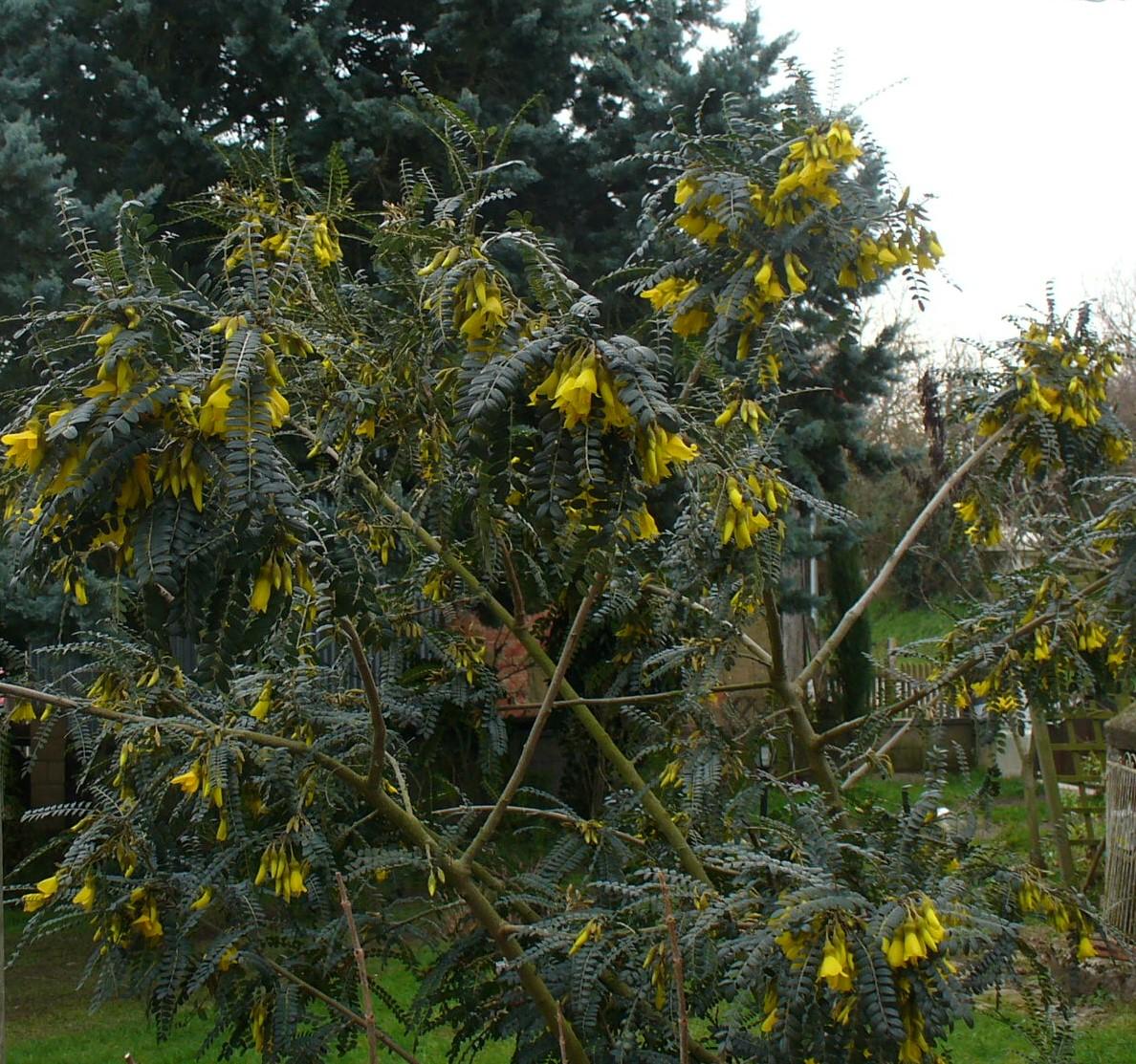 """connaissez-vous le sophora """"sun gold""""? - le(s) jardin(s) de"""