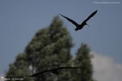 Ibis noir