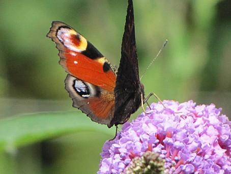 les-papillons-5506.JPG