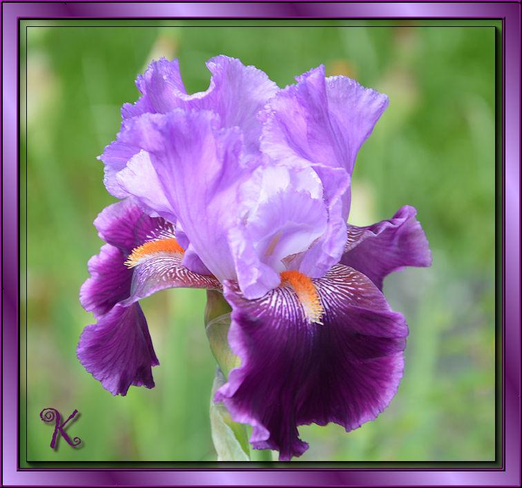 Enfin, les iris !