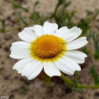 Cladanthus mixtus = Anthemis mixta  -  anthémis panaché