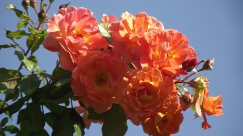 Délices de Roses variées !