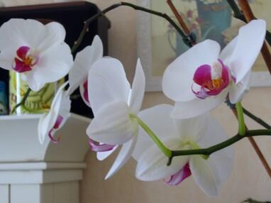 2006 - Orchidées