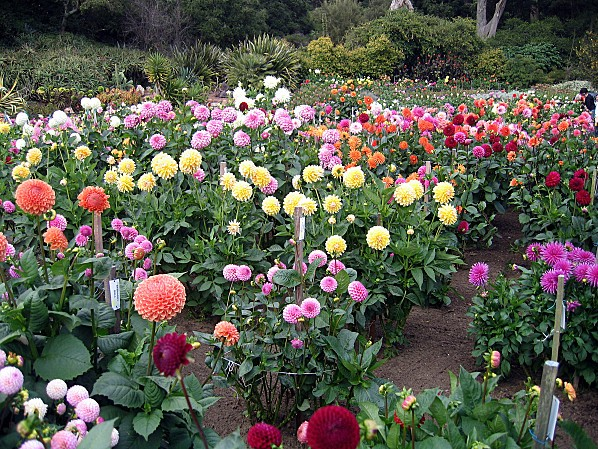 San Francisco Golden Gate Park Dahlias