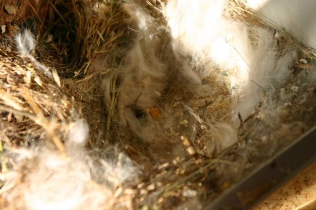 La Carotte fait son nid les jours de pleine lune...