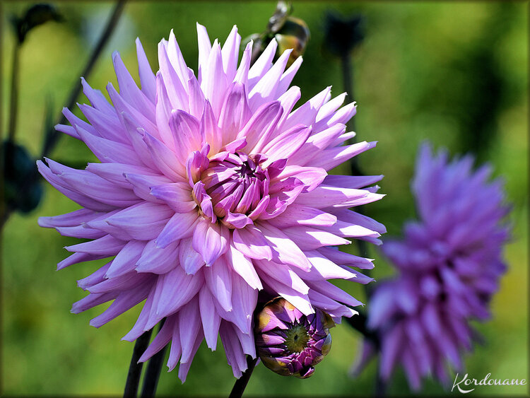 Fleurs de Dahlias bicolores