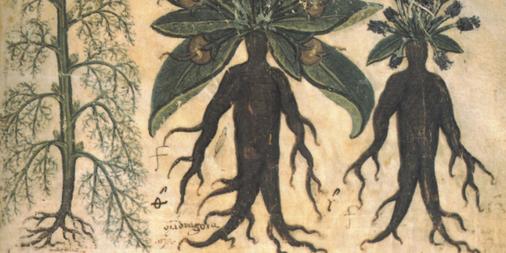 La Mandragore, une plante magique, entre mythe et réalité !