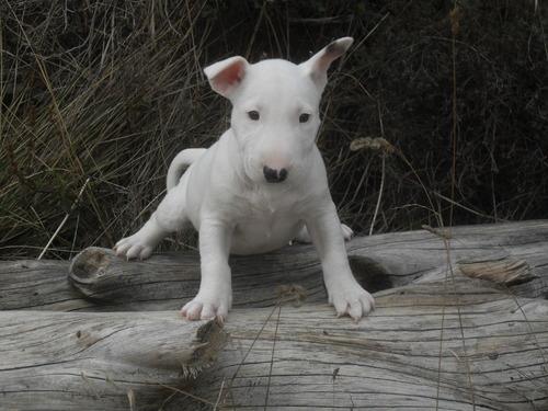 Vente de chiots bull-terrier LOF