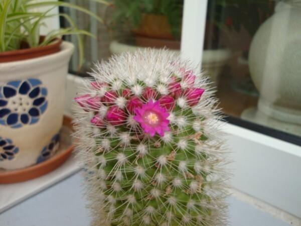le-cactus-rose.jpg