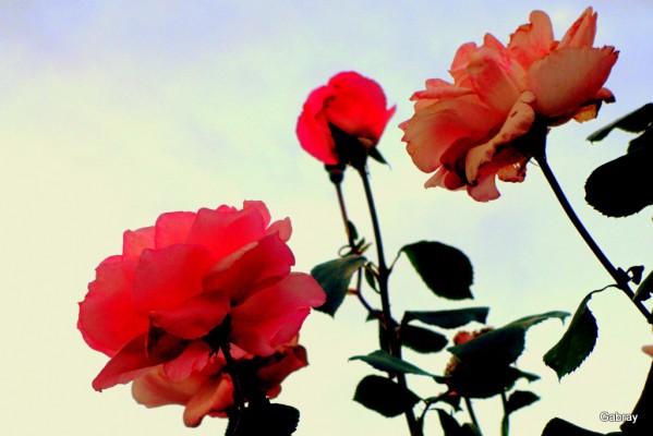 y06---Roses.JPG