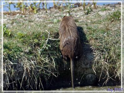 Sortie de bain pour le ragondin - La Couarde-sur-Mer - Ile de Ré - 17