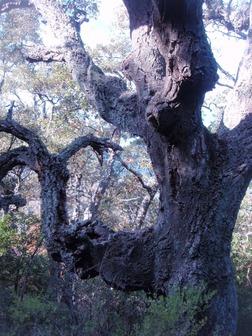 Chêne-liège mahousse