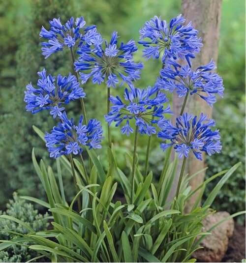 Les fleurs cultivées : Agapanthe