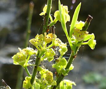 Osyris alba - osyris blanc