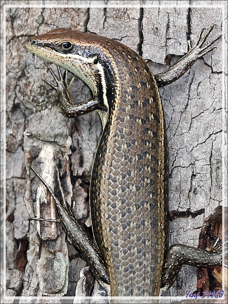 Promenade dans la forêt de Nosy Sakatia : Lézard scinque Mabuya de Gravenhorst (Trachylepis gravenhorstii) - Madagascar