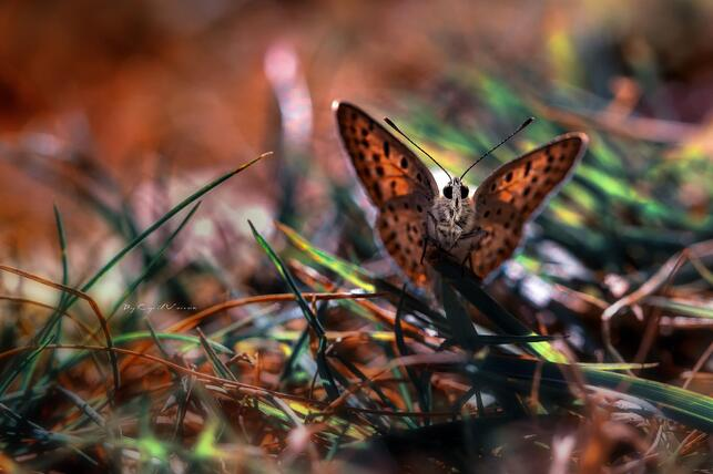 http://img.wallpaperlist.com/uploads/wallpaper/files/but/butterfly-in-the-grass-wallpaper-530f0a9d0d366.jpg?title=Papillon%20dans%20l