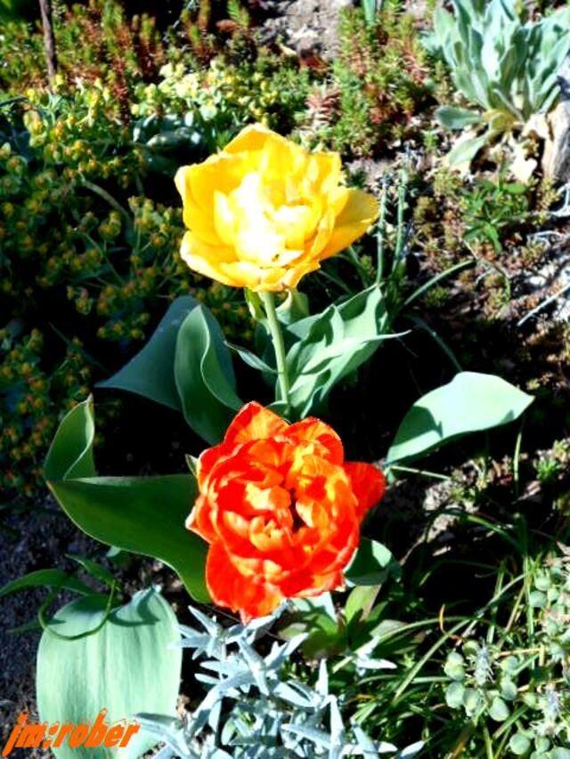 ça géle, mais ça fleuri au jardin