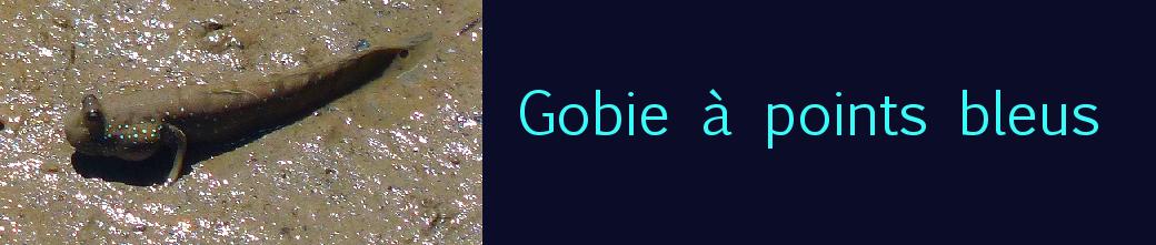 Gobie à points bleus
