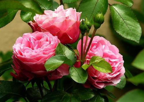 Les étoiles et les roses de Vidtor Hugo...