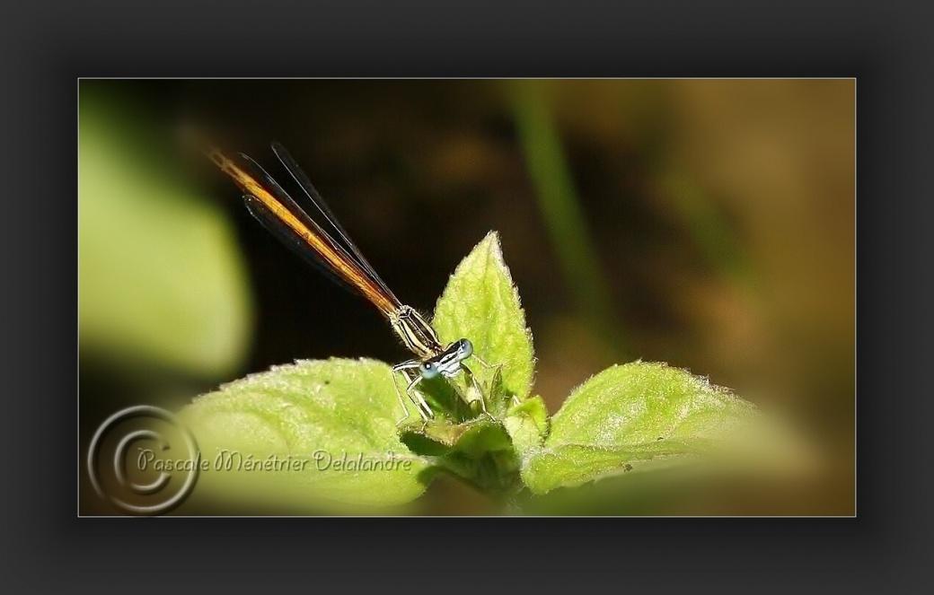 Le mâle adulte agrion orangé (Platycnemis acutipennis)...