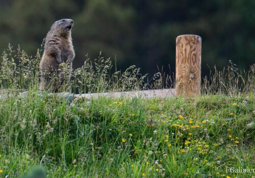 Marmottes Canillo  ( Andorre )