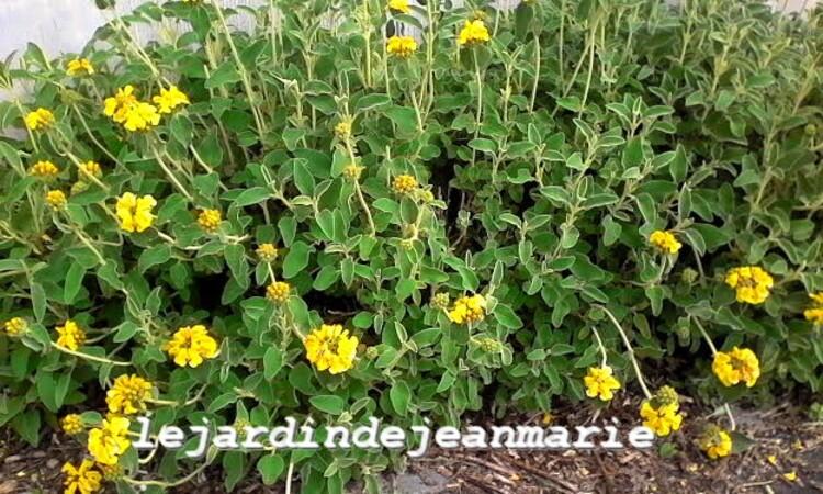 plante qui aime la secheresse la sauge de j rusalem ou phlomis grandiflora le jardin de jean. Black Bedroom Furniture Sets. Home Design Ideas