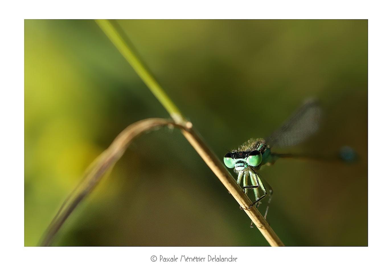 Ischnure élégante ♂ mature (Ischnura elegans)