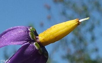 Solanum dulcamara - douce-amère