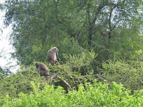 rencontre avec des babouins