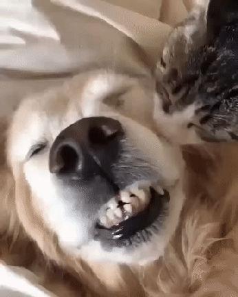 Nos Goldens et leurs copains chats!!