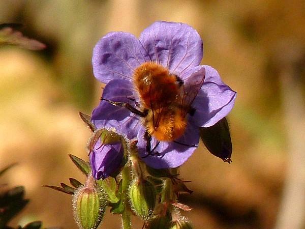 Geranium Purple Haze -Butineur