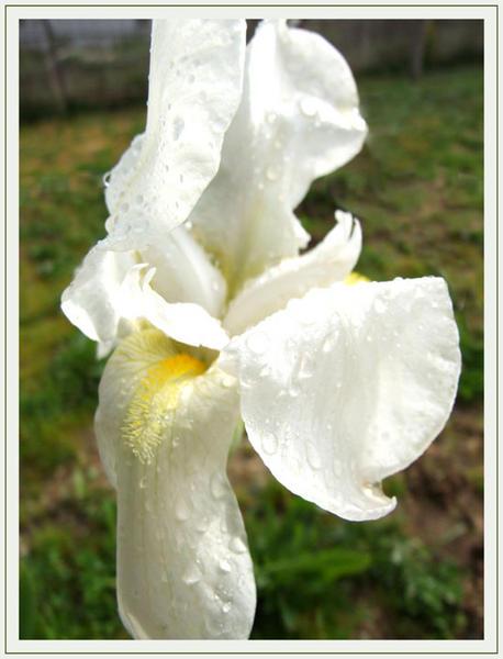 iris blanc couvert de rosée