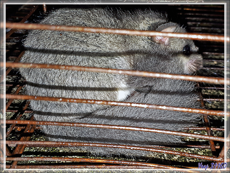 Loir gris, Edible dormouse or Fat dormouse (Glis glis) - Lartigau - Milhas - 31