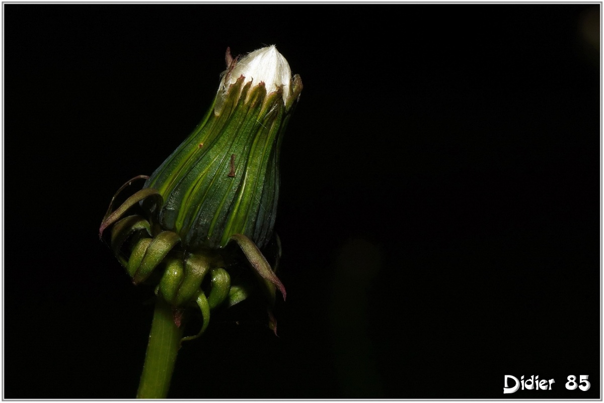 Pissenlit (1) - Taraxacum