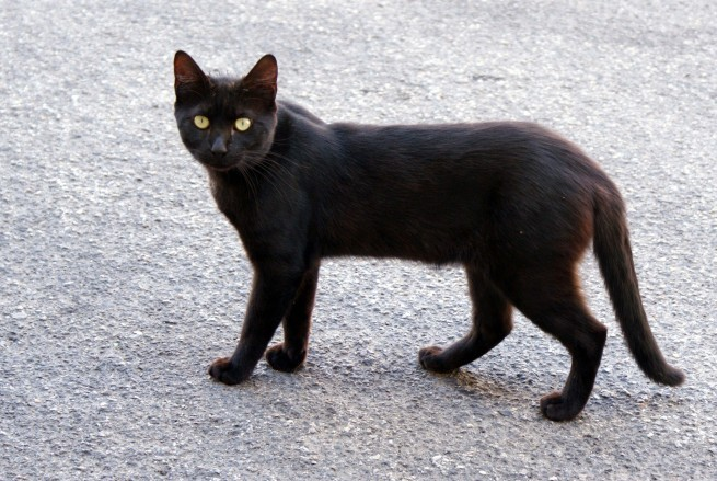 Chat noir Trèbes 12673