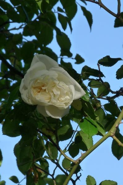 L'arrivée des roses .....