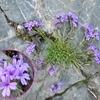 Erine des Alpes (Erinus alpinus)