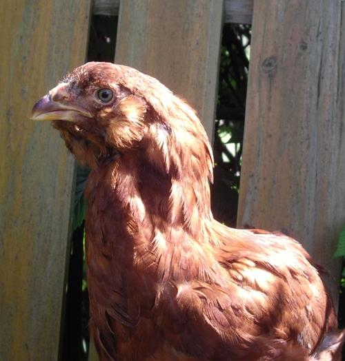 poulette orloff acajou GR