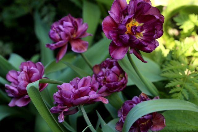 Tulipes 2018 : Blue Wow
